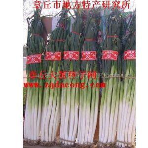 供应大葱种子  高产 新品种 家禄三号 章丘大葱种 稳产 种着放心 章丘赭山大葱协会