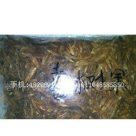 供应喜树果价格、药用方法、厂家批发、葵树子、蒲葵子批发