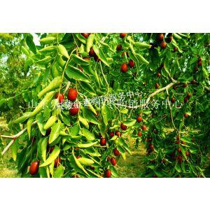 供应金丝小枣产地供应好吃的鲜小枣