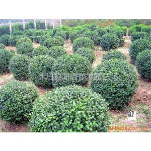 供应绿化苗木 工程苗木 彩色花灌木 绿化带灌木 绿化乔木苗木批发