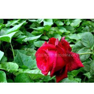 供应红玫瑰 四季玫瑰河北昌盛四季玫瑰苗木生产基地
