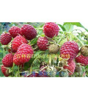 供应树莓 树莓图片 红树莓苗