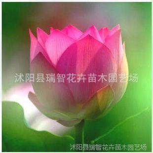 旺胡花卉 水生花卉 特艳碗莲根块 冰娇荷花种藕 碗莲种藕