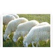 供应改良西门塔尔 夏洛莱 利木赞 肉羊 肉驴种驴