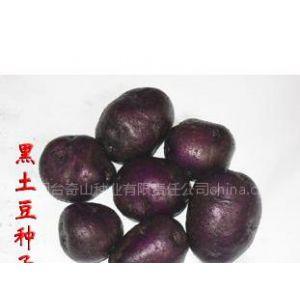 供应黑土豆种子