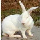 供应购种兔,免费技术指导,签订回收合同