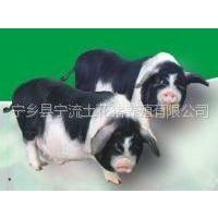 供应宁乡猪