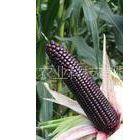 供应黑糯玉米种子