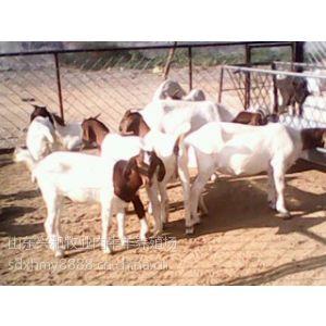 供应开封波尔山羊价格小山羊多少钱一只