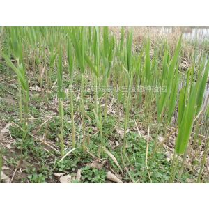 供应什么时候是芦苇种植的季节|栽培芦苇种苗的季节|种植芦苇的方法|芦苇种子的种植季节