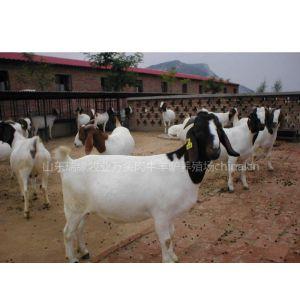 供应肉羊养殖 小尾寒羊 杜泊绵羊 山东肉羊养殖场 奶山羊 波尔山羊 种羊 山东养羊场