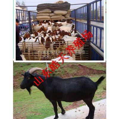 供应养一只育肥肉羊能赚多少钱山东种羊养殖基地