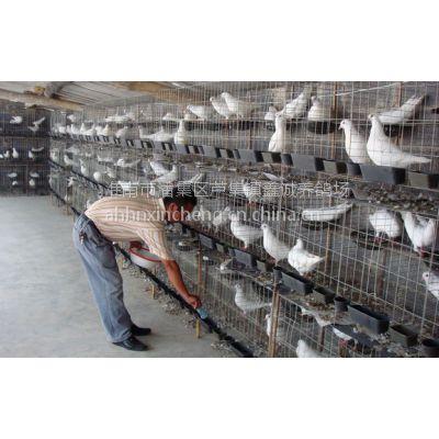 供应常年出售种鸽,食用鸽