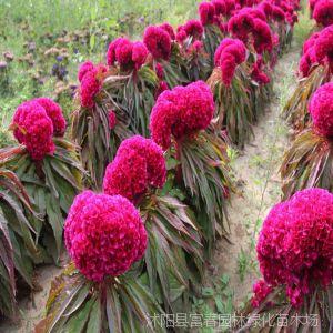 供应地被花卉-鸡冠花,又名鸡髻花、老来红