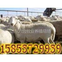 供应小尾寒羊 小尾寒羊价格 小尾寒羊成年母羊 小尾寒羊养殖场