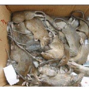 供应广州灭鼠,酒店灭鼠公司,厨房灭鼠服务,广州灭鼠大队