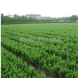 供应供应小龙柏苗 龙柏价格 龙柏基地 小龙柏冠幅30 工程绿化带灌木