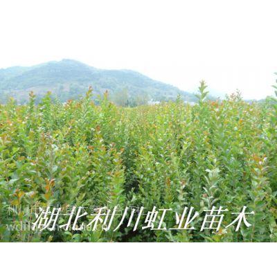 湖北利川紫薇树苗1米以上紫薇苗