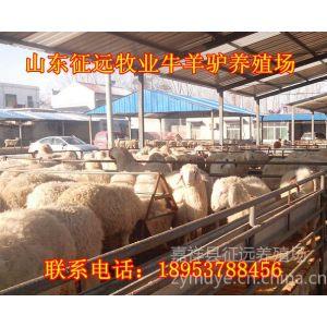 供应安阳肉羊养殖场 出售 育成肉羊 改良肉羊羔 免费运输