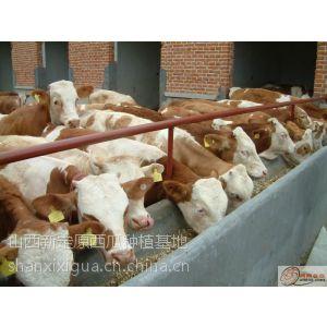 供应杂交利木赞牛价格