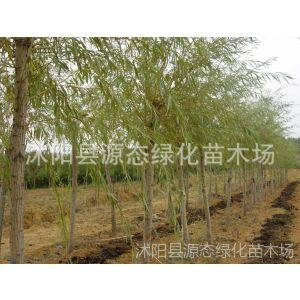 供应直销黄金柳 乔木 黄金柳 绿化树苗 金丝垂柳  垂柳 抗虫性高