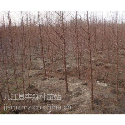批发水杉、水杉价格、2-5公分水杉价格