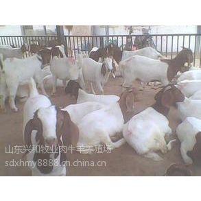 供应贵州哪里有波尔山羊养殖场波尔山羊种羊价格