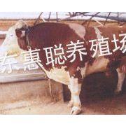 供应出售肉牛 卖西门塔尔牛到山东惠聪养殖场