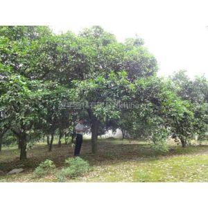 供应30公分香泡 30公分香泡树价格 益阳市维宇园林