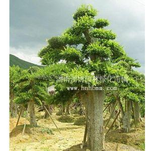 供应绿化苗木 花木 花卉 树木盆景