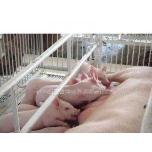 供应籽猪包运输保成活