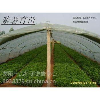 供应烟台地区紫薯苗