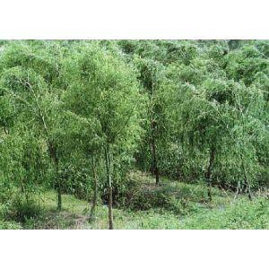 柳树 垂柳 速生柳 绿化苗木