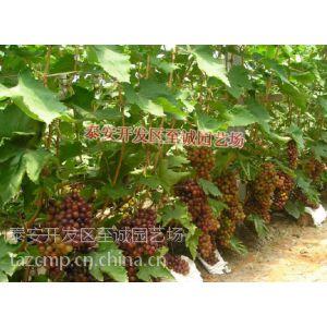 供应葡萄颗粒饱满! 哪里便宜 葡萄苗哪里销量好?