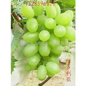 供应新品种葡萄苗 早熟品种葡萄苗 维多利亚葡萄苗