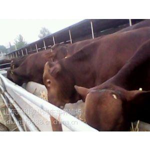 供应利木赞牛的价格牛犊多少钱