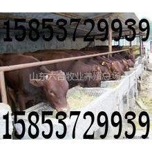 供应牛羊养殖场 牛羊养殖合作社 肉牛养殖场 山东肉牛养殖