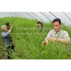 供应阿波罗-芦笋种子进口芦笋种子