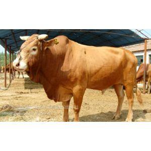 供应达县中国什么地方肉牛品种***多