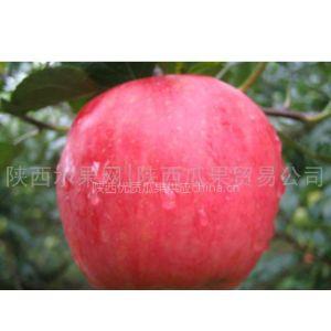 供应供应陕西优质早熟苹果青苹果产地批发藤木苹果批发基地