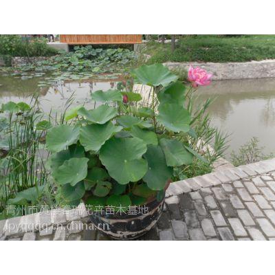山东青州水生植物 山东青州水生花卉价格 山东青州水生植物小苗