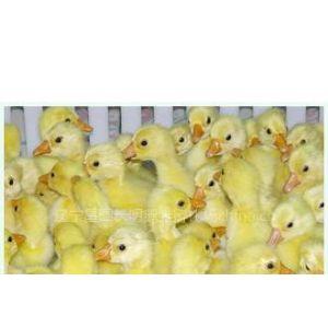 供应吉林四平鹅雏价格、鹅种蛋