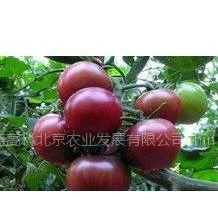 供应进口黑番茄种子  优质黑番茄种子