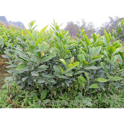 供应重庆柠檬苗 重庆柠檬苗基地苗价格咨询