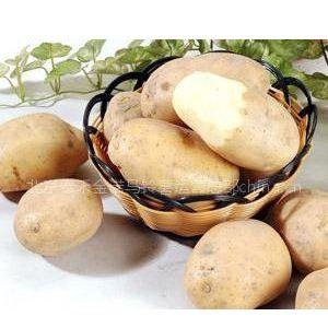供应供应脱毒马铃薯|脱毒马铃薯价格