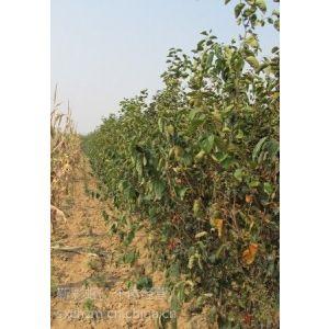 供应供应柿子苗山西柿子苗价格1-10公分柿子树
