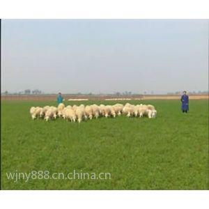 供应小尾寒羊行情及市场价格