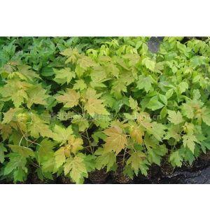 供应金叶银槭 银槭扦插苗 三季金黄叶色 新品种彩叶树