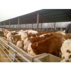 供应中国什么地方肉牛品种***多牛犊养殖场