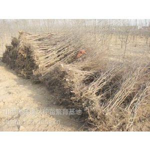 供应枣树苗品种大全 枣树苗种植技术 早熟枣树苗价格 山西枣树苗种植基地